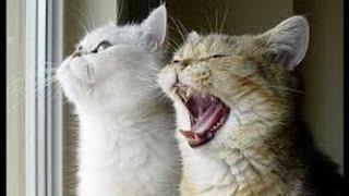 funny cat videos from vine, funny cat jumping vine, funny cat vines try not to laugh