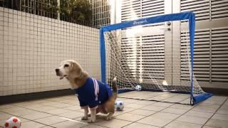 funny dogs doing funny things, funny dogs compilation, 2015, a dog becomes goal keeper