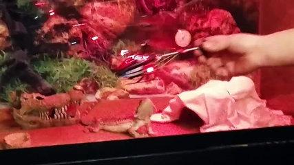 funniest bearded dragon videos compilation funny pet videos