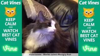 Funniest Cat Vines #133 - Updated September 24th, 2015