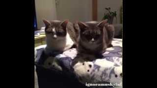 Funny Cat Vines Compilation November 2014 - Part 15
