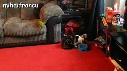 funny parrots annoying cats compilation new hd.