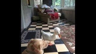 Dog and duck best friends.Dogs funny and cute videos compilations.Dogs funny faces.