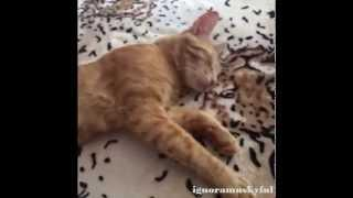 Best Cat Vines Compilation December 2014 - Part 1