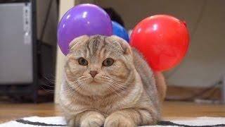 Sticking Balloons on Cat | funny animal vines| Funny pets