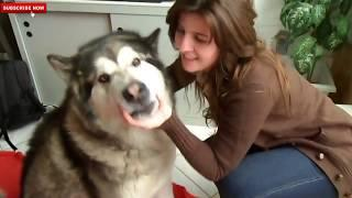 Cute and Funny Big Dogs Thinks They're Lap Dogs Compilation - Funny Dogs Vines