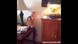 Funny Cat Vines Compilation November 2014 - Part 11