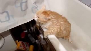 FAT CAT FAIL VINES / Толстый кот #2